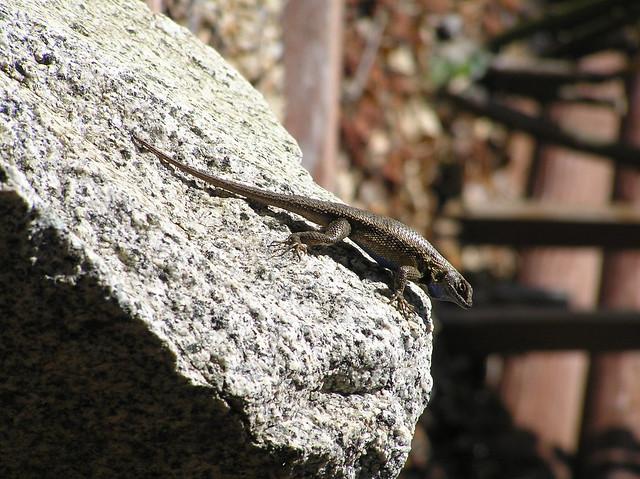 Backyard Lizards | Flickr - Photo Sharing!