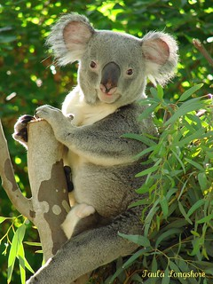 Bulkee the Koala poses for a photo