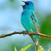 Male Indigo Bunting Singing! by JRIDLEY1