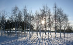 Silver Birch trees in the snow