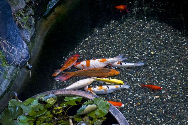 00006 koi fish flickr photo sharing for Koi fish farm near me