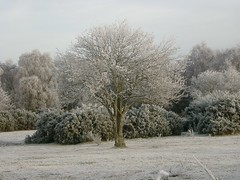 09 1536 - Frosted tree, Lochloy, Nairn