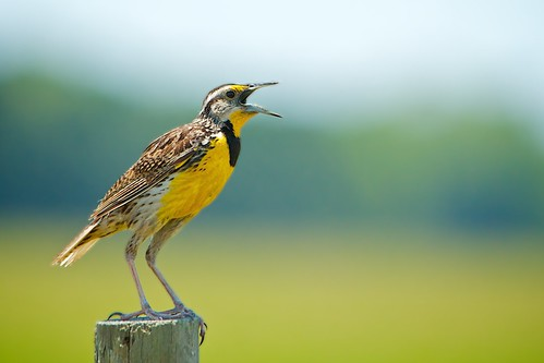 Eastern Meadowlark Bird-EXPLORED