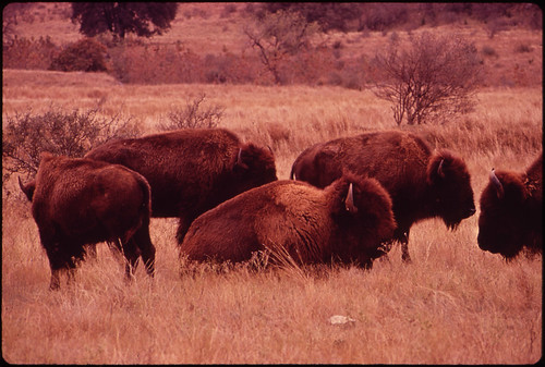 Buffalo herd on Bell Ranch, Leakey Texas, November 1972 Marc St. Gil for Documerica