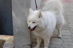 dog breed, animal, dog, japanese spitz, pet, norwegian buhund, volpino italiano, german spitz, white shepherd, canadian eskimo dog, berger blanc suisse, greenland dog, kishu, carnivoran, american eskimo dog, samoyed,