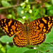 Phyciodes - Photo (c) David Cook Wildlife Photography, some rights reserved (CC BY-NC)