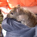Long-nosed Potoroo by Environment + Heritage NSW