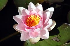 Fleur de Nénuphar - Photo of Marbéville
