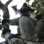 Female Indri calling, Andasibe, Madagascar