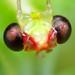 Green Lacewing Portrait - Leucochrysa Nodita