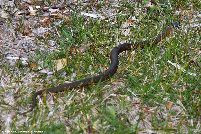 Elapognathus coronatus - Western Crowned Snake,  Albany Whaling Station, Frenchmans Bay, Western Australia