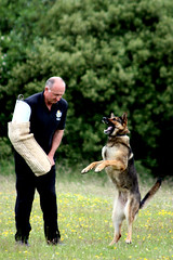 animal, dog, pet, mammal, dog walking, police dog, conformation show, schutzhund,