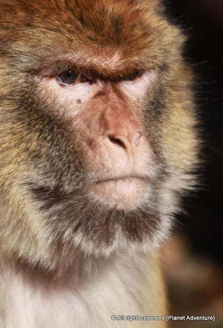 Barbary Macaque - Morocco