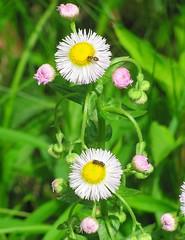daisy or philidephia fleabane