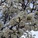 Miniature pear blossoms