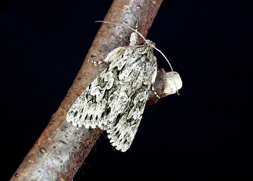 2243 Early Grey - Xylocampa areola
