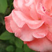 rose image, photo or clip art