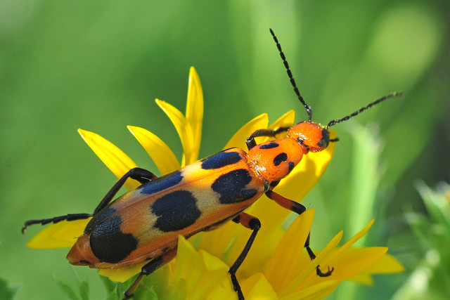 Large Orange Blister Beetle | There were two sizes of these … | Flickr