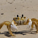 Atlantic Ghost Crab - Photo (c) Terry Ross, some rights reserved (CC BY-SA)