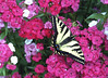 Western Tiger Swallowtail in Jo's Sweet William