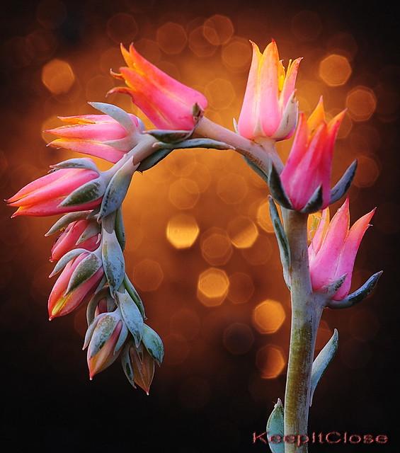 Succulent flower........