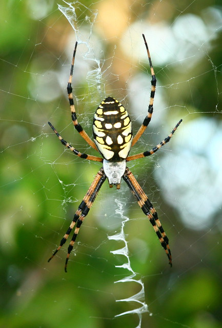 Black and Yellow Garden Spider | I am unfamiliar with ...