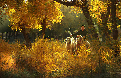 2119 Camel rider among yellow leaves--Inner Mongolia , China