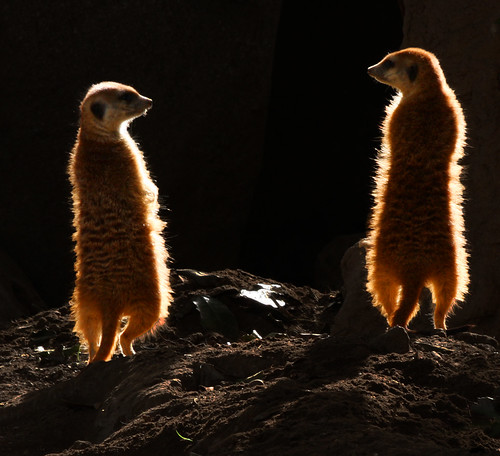 Beautiful Meerkats