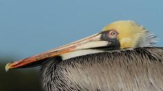 Brown Pelican, Pithlachascotee River Docks