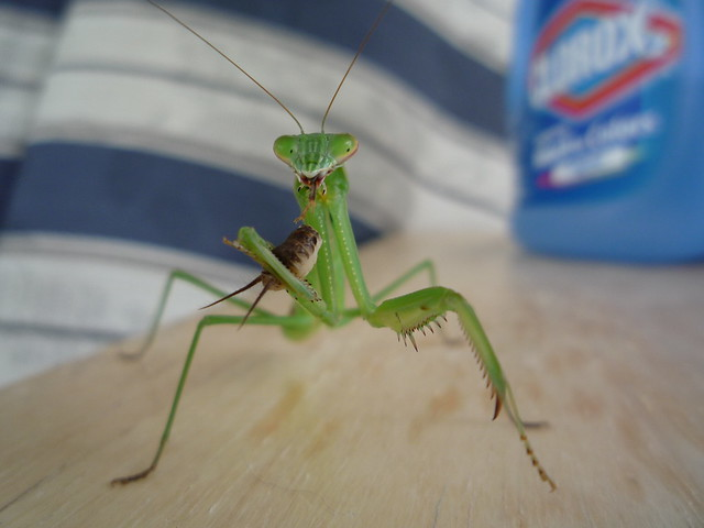 Praying Mantis | Flickr - Photo Sharing!