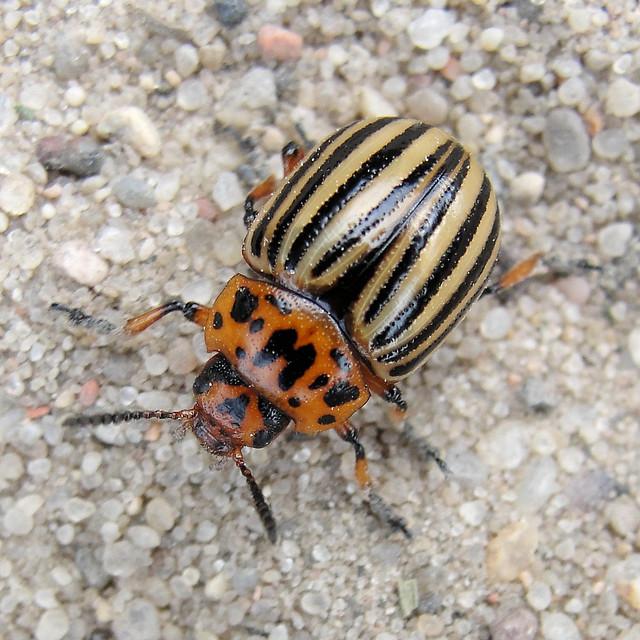 Kartoffelkäfer / Potato Beetle