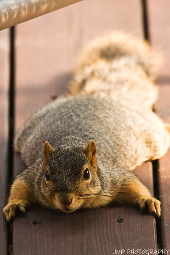 urban cute animal photography rodent furry backyard squirrel michigan wildlife fox jmp foxsquirrel mandj98 jmpphotography jamesmarvinphelps michiganfoxsquirrel riverviewmichigan