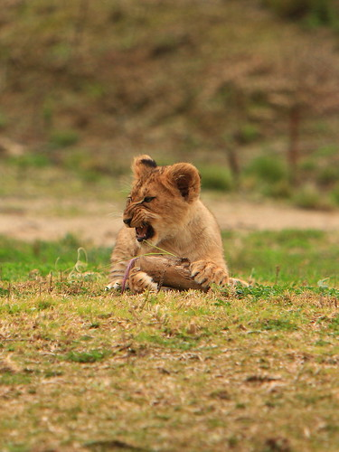Lions & Lion Cubs by fortherock