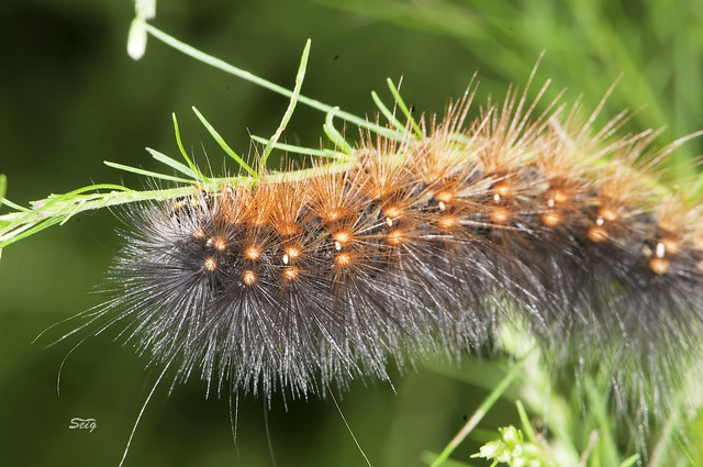 Virginian tiger moth caterpillar - photo#26