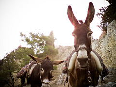 animal(1.0), donkey(1.0), mule(1.0), pack animal(1.0), fauna(1.0),