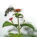 Colibri - Hummingbird by lolodoc