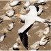 Australasian Gannet - Photo (c) Martin, some rights reserved (CC BY-NC-ND)