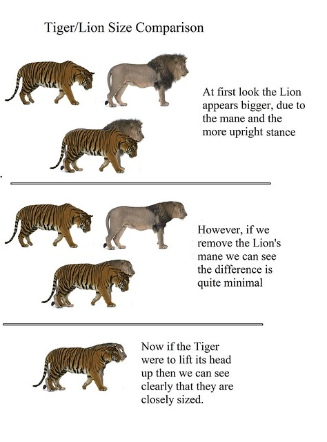 Bengal Tiger/ African Lion Size Comparison