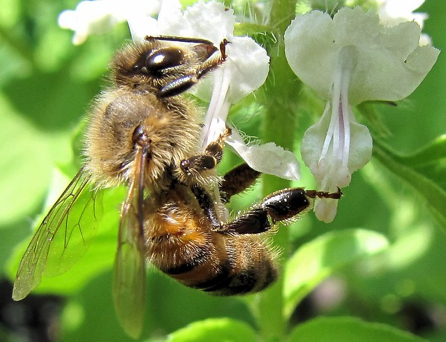 honeybee on lemon basil