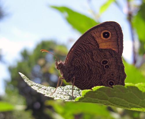 butterfly bug insect kansascity kansas woodnymph grayling commonwoodnymph tonganoxie cercyonispegala cercyonis easternkansas blueeyedgrayling