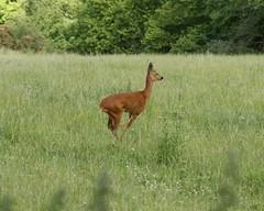 animal, prairie, grass, mammal, grazing, fauna, meadow, impala, pasture, grassland, wildlife,