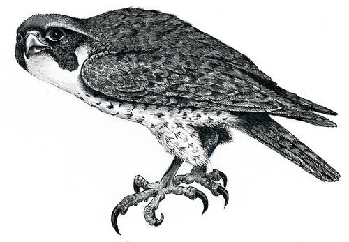 Peregrine Falcon Sketch Peregrine Falcon Flickr