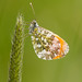 Orange Tip by [-ChristiaN-]