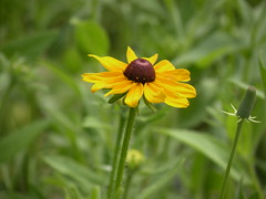 Another Rudbeckia