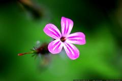 macro pink flower    MG 7293