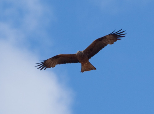 Milano negro en vuelo (Milvus migrans) Black kite flying