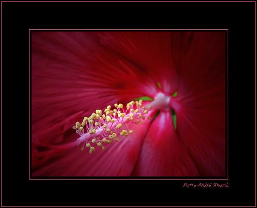 macro rouge photos hibiscus beauté belle bonheur joie forêt photographes expositions géante digifoto planrapproché lavidaenfotografia photoquebec pierreandrésimard vosplusbellesphotos canong10 magnifiquefleur châteaumontebelloqc simpa©