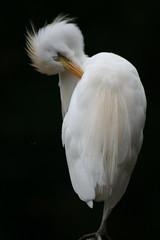 animal, wing, white, fauna, close-up, great egret, heron, beak, bird,