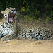 Leopard - Photo (c) Gerry\ Nanayakkara, some rights reserved (CC BY-NC-SA)