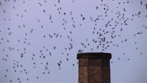 Chapman Swifts swirl into chimney
